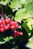 Bunch of the fresh red viburnum — Stock Photo