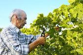 Senior man cutting vine — Stock Photo