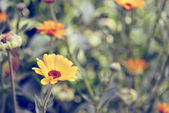 Summer blossoming of calendula (marigold) flowers — Photo