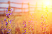 Violet meadow flower with sun rays — Stock Photo