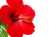 Red Hibiscus flower head — Stock Photo