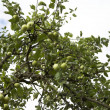 Apple tree with green apples — Stock Photo