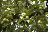 Apple on a apple tree — Stock Photo