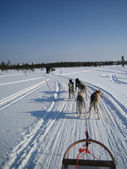 Dog sledding in lapland — Stockfoto
