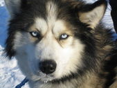 Husky dog lapland — Stock Photo