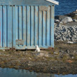 Stock Photo: House and arctic fox