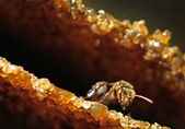 Wild honey bee close up or macro — Stock Photo