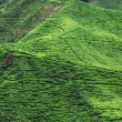 Tea plantation , cameron highland — Foto Stock