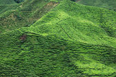 Tea plantation , cameron highland — Stock Photo