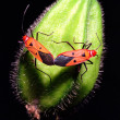 Bugs mating — Stock Photo