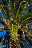 Decorative, isolated palm tree with blue sky in tropical area — Stock Photo
