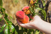 Peach on tree — Stock Photo