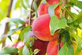 Organic Peaches — Stock Photo
