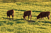 Cattle grazing in the meadow — Stock Photo
