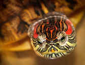 Red Eared Turtle — Stock Photo