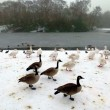 Stock Photo: CanadGeese and Swans in Heaton Park, Manchester. UK