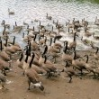Canada Geese & Cygnets, Heaton Park Lake, Manchester — Stock Photo