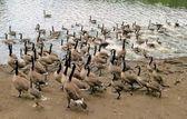 Canada Geese & Cygnets, Heaton Park Lake, Manchester — Stock Photo