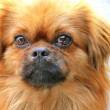 Pekingese dog — Stock Photo #18442659