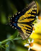 Hirondelle à queue papillon — Photo