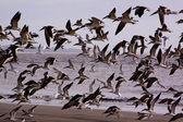 Skimmers in flight — Stock Photo