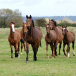 Stock Photo: Running Horse Herd