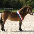 Stock Photo: Champion Exmoor Pony