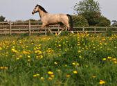 Caballo en el paddock — Foto de Stock