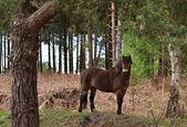 Selvagem pónei exmoor — Foto Stock