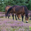Royalty-Free Stock Photo: Exmoor Ony Grazing