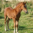 Welsh Foal — Stock Photo