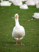 Single Goose — Stock Photo