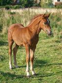 Welsh Foal — Stock Photo
