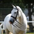 Grey Horse In Bridle — Stock Photo #14424225