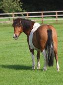 Lindo pony — Foto de Stock