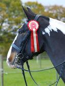 Winning Show Horse — Stock Photo