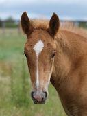 Suffolk Horse Foal Head Shot — Stock Photo