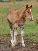 Suffolk Horse Foal — Stock Photo