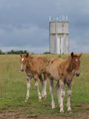 Two Suffolk Horse Foals — Stock Photo