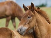 Two Suffolk Punch Horse Foals — Stock Photo