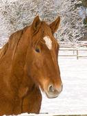Colpo di testa di cavallo nella neve — Foto Stock