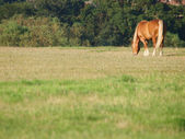 Horse Grazing In Paddock — Stock Photo