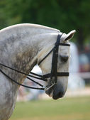 Grijze paard in hoofdstel — Stockfoto