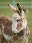 Cute Baby Donkey — Stock Photo
