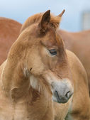 Suffolk Horse Foal Head Shot — Stock Photo