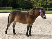 Winning Exmoor Pony — Stock Photo