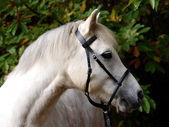 Grey Horse Head Shot — 图库照片