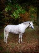 Grey Pony Standing — Stock Photo