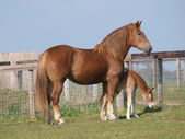 Suffolk Horse Mare and Foal — Stock Photo