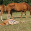 Stock Photo: Mare with Sleeping Foal